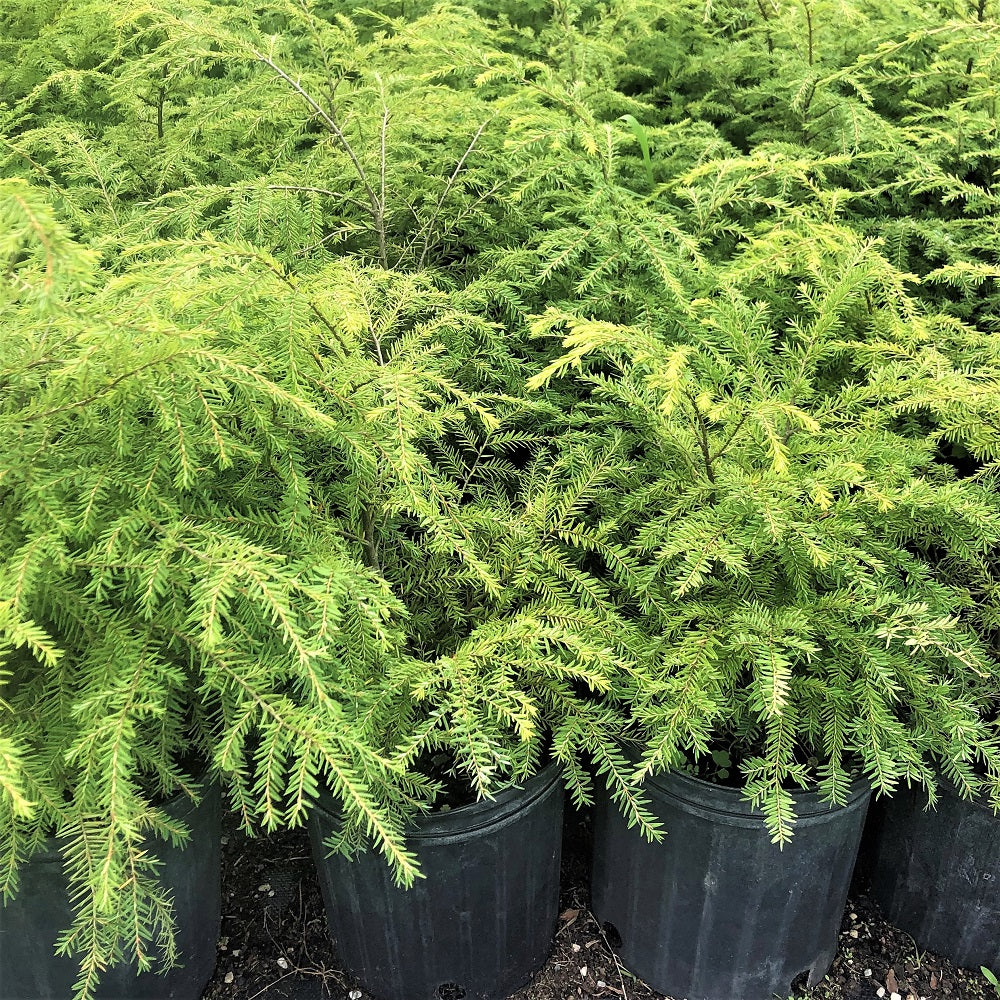 Hemlock in pots at St. Williams
