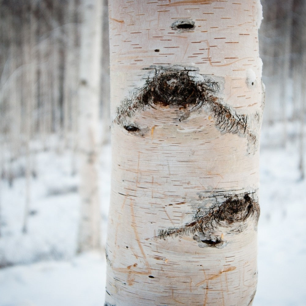 Bark in winter