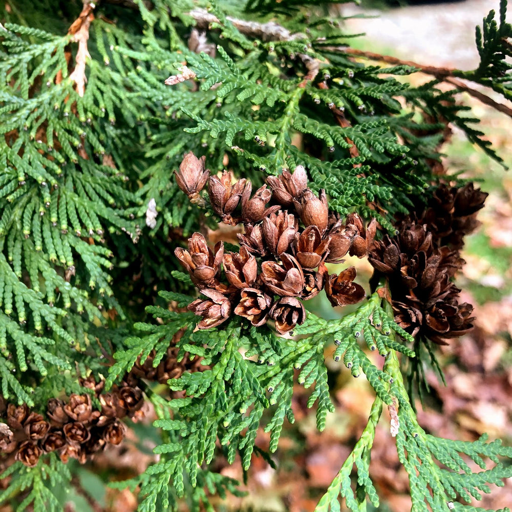 Mature cones in fall