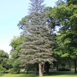 White Spruce tree at St. Williams Nursery