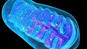 Minding Your Mitochondria
