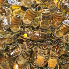 Russian Queen Bees