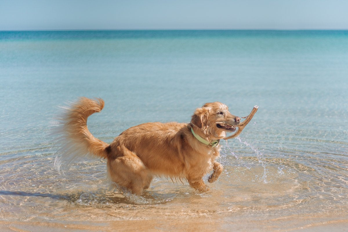 Dog in water with treat at beach