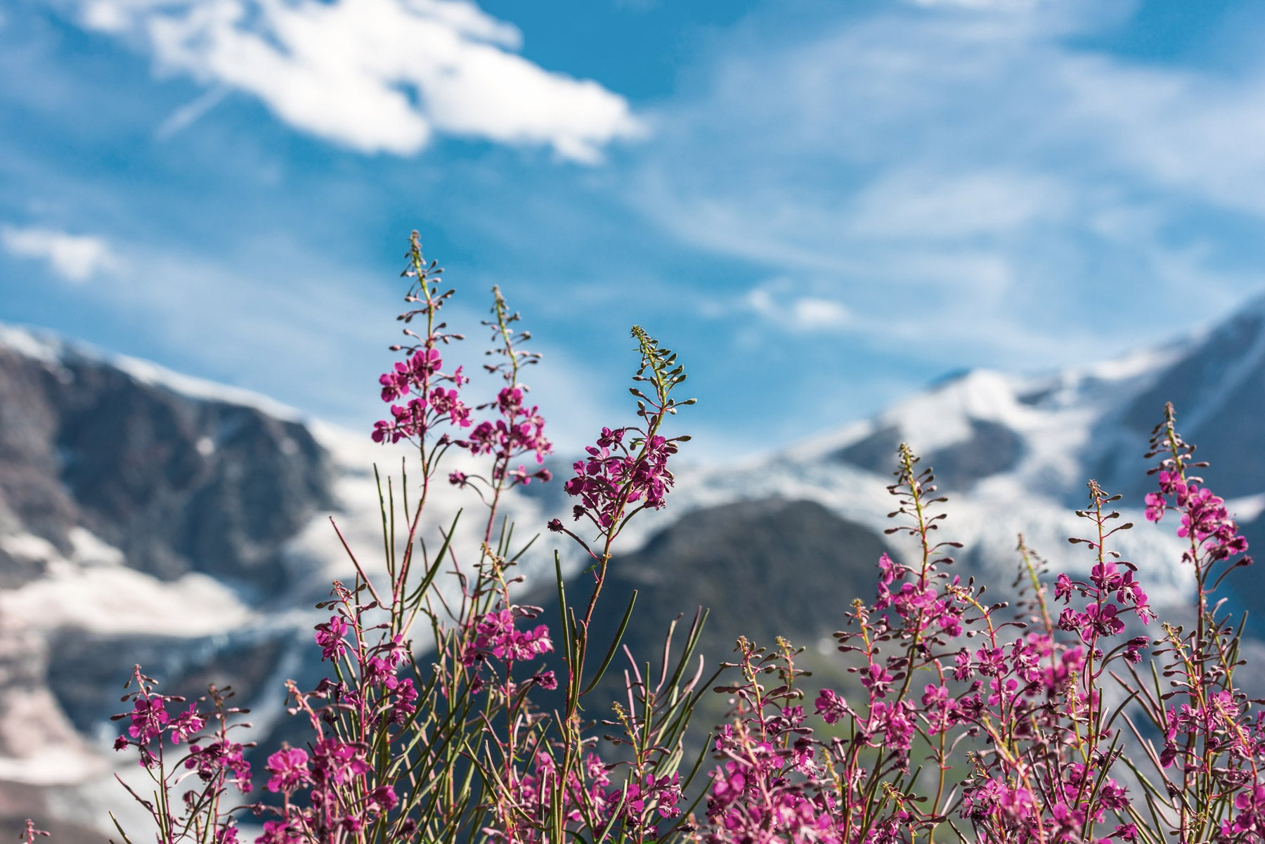 A mountain range behind some flowers.