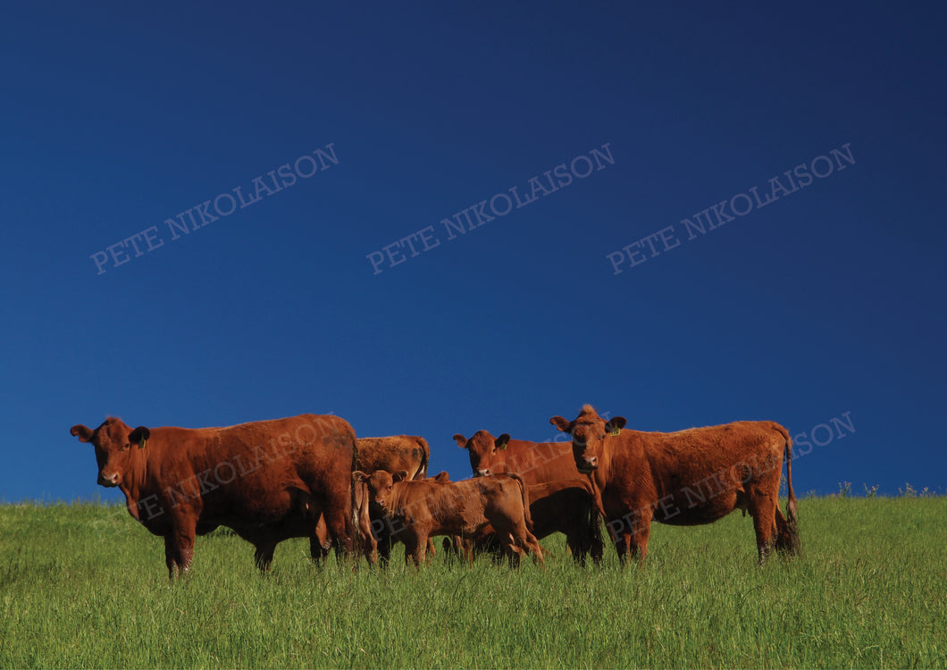 FAMILY OF CATTLE