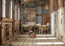 Load image into Gallery viewer, SHEARING SHED WAIATA