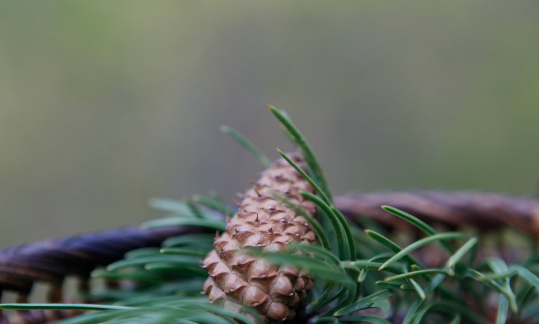 Pine cones and pine needles in a basket for pine needle tea