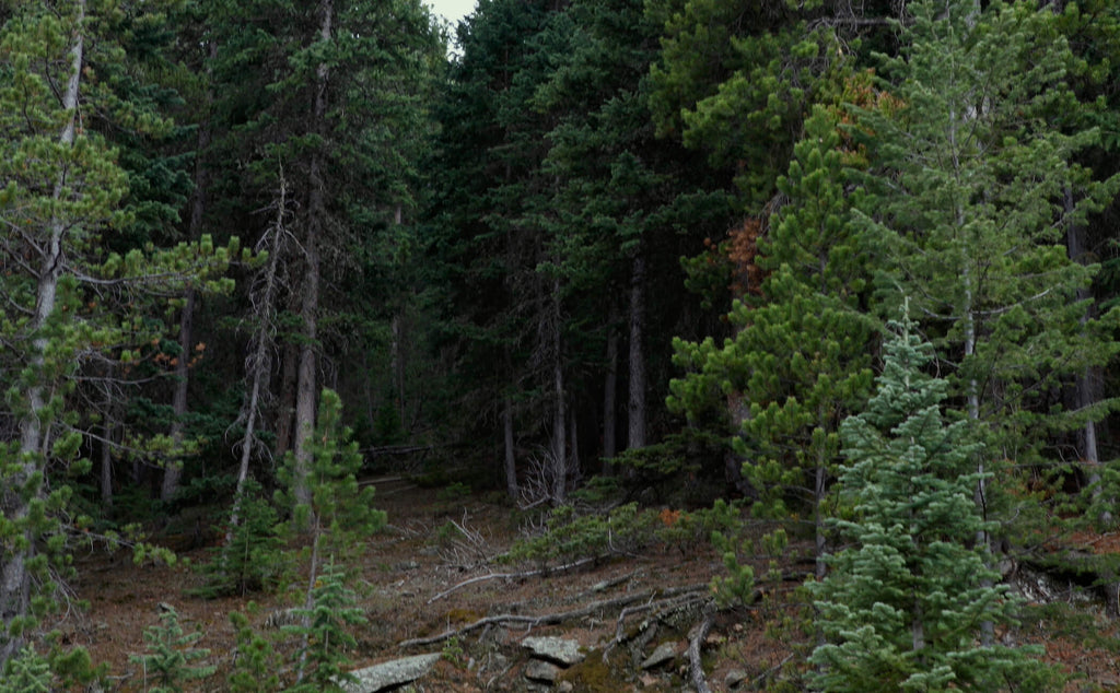 a lush green pine forest in the Rocky Mountains of Colorado