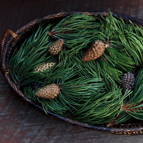 Pine needles and pine cones from a Colorado lodgepole pine in a basket