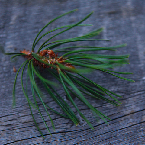 Pine needle sprig from a lodgepole pine