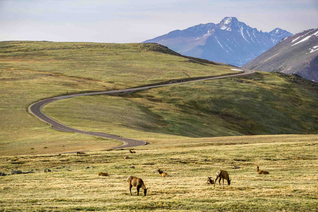 a view on Trail Ridge Road in Rocky Mountain National Park with young elk on grass in foreground and mountains in background