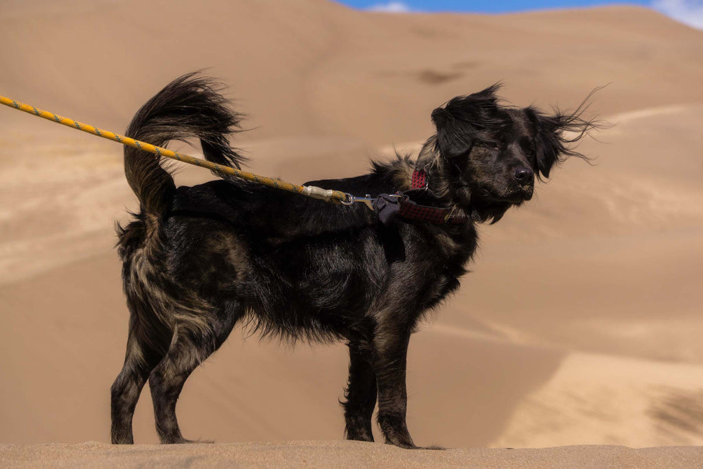 a black dog on a leash stands looking out at Great Sand Dunes National Park, Colorado