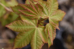 Acer campbellii ZHNP168 (Campbell's Maple)