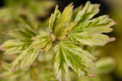 Acer campestre 'Carnival' (Carnival Hedge Maple)