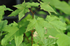 Acer longipes (Gold Coin Maple)