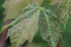 Acer macrophyllum 'Santiam Snows' (Variegated Big Leaf Maple)