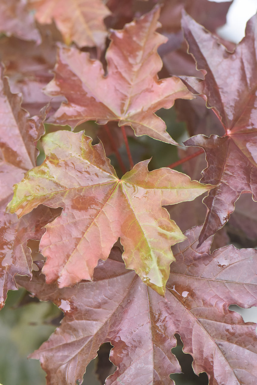 Acer platanoides 'Purple Globe'  (Purple Leaf Norway Maple)