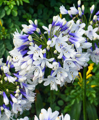 Agapanthus 'Twister' (Bicolored Lily of the Nile)