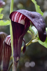 Arisaema sazensoo  (Jack-in-the-Pulpit)