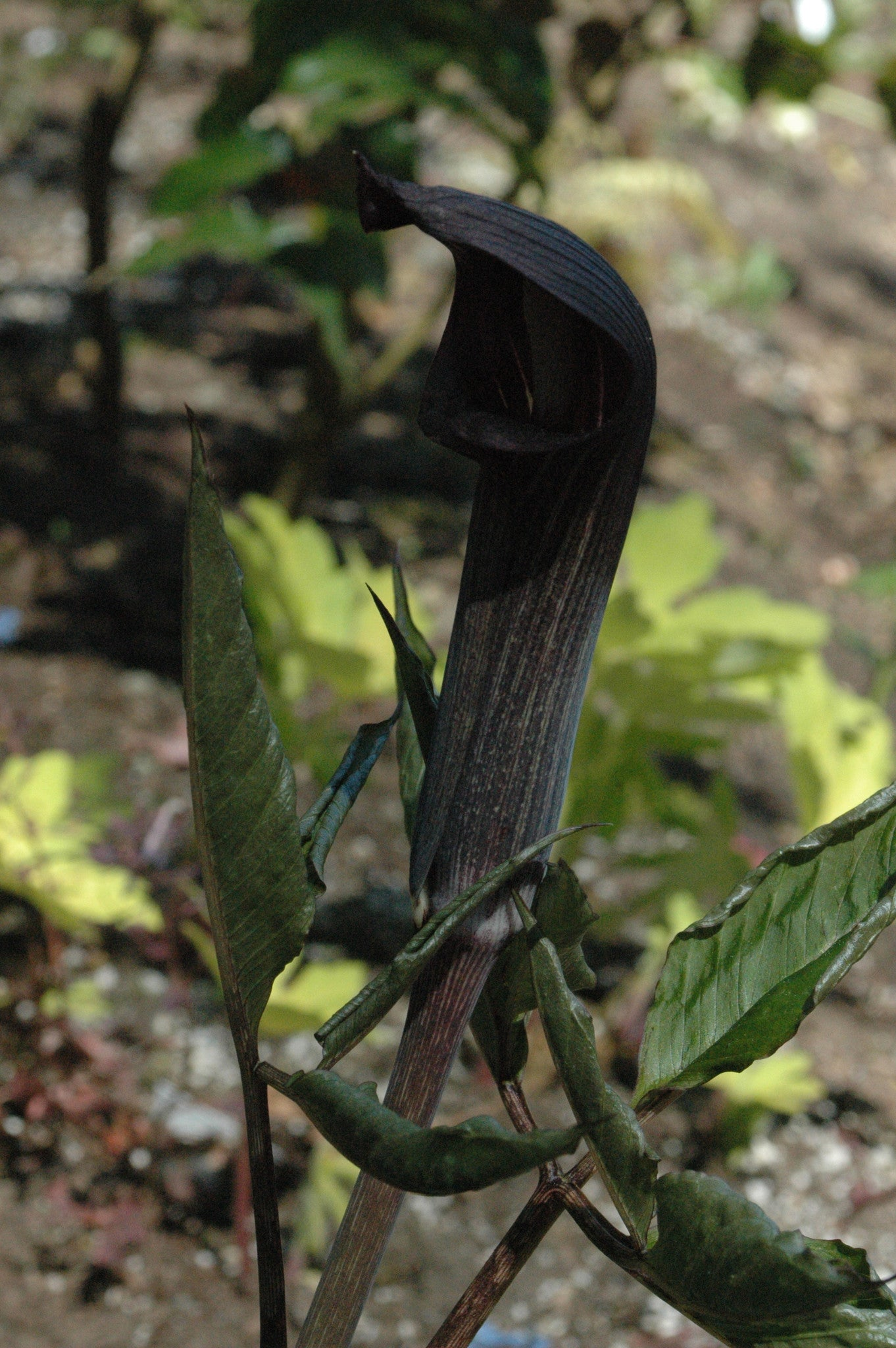 Arisaema mayebarae (Jack-in-the-Pulpit)