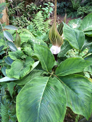 Arisaema sikokianum  (Jack-in-the-Pulpit)