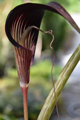 Arisaema speciosum (Jack-in-the-Pulpit)
