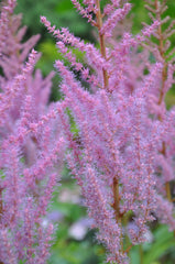Astilbe chinensis 'Royal Sentinel'  (Chinese False Spiraea, False Goat's Beard)