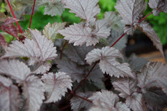 Astilbe x arendsii 'Chocolate Shogun' PP26430 (Chocolate Astilbe)