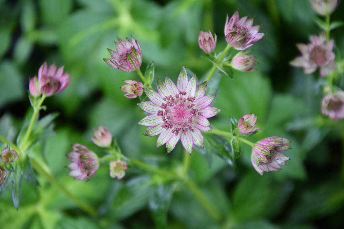 Astrantia major 'Masterpiece'  (Variegated Masterwort)