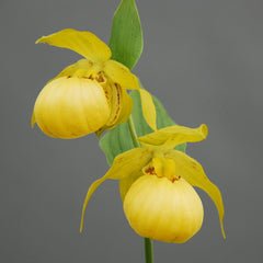 Cypripedium 'Barry Phillips' (Hardy Orchid)
