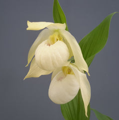 Cypripedium 'Bernd Pastel' (Hardy Lady Slipper Orchid)