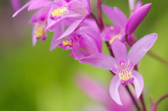 Bletilla striata x Yokohama 'Kate' (Chinese Ground Orchid)