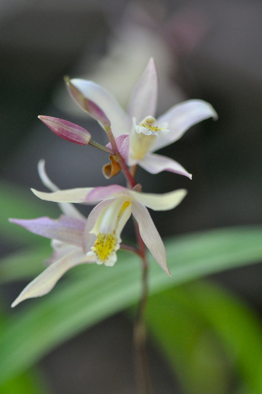 Bletilla ochracea 'Terracotta Princess' (Chinese Ground Orchid)