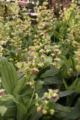 Calanthe 'Green Lipstics'   (Hardy Ground Orchid)