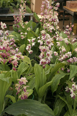 Calanthe 'Pink Lipsticks'   (Hardy Ground Orchid)