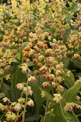 Calanthe 'Yellow Lipstics'   (Hardy Ground Orchid)