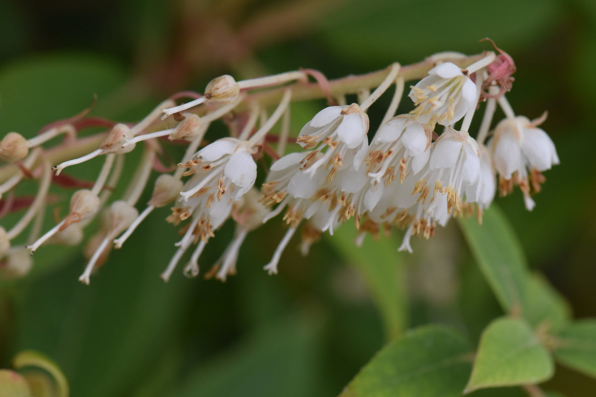 Clethra sp. CGG14102 (Chinese Summersweet)