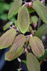 Corylopsis willmotia 'Spring Purple'   (Chinese Winter Hazel)