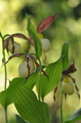 Cypripedium kentuckiense (Lady's Slipper Orchid)