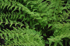 Cystopteris bulbifera (Bulbet Bladder Fern)