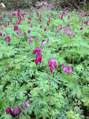 Dicentra formosa 'Bacchanal' (Purple Western Bleeding Heart )