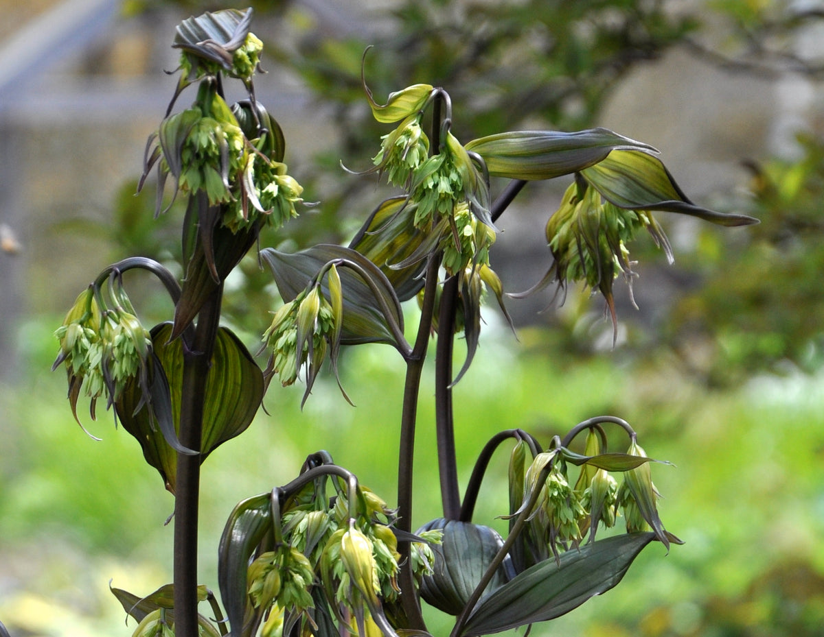 Disporum longistylum 'Night Heron' (Fairy Bell)