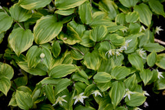 Disporum smilacinum 'Ki no Tsukasa'  (Gold Edge Fairy Bells)