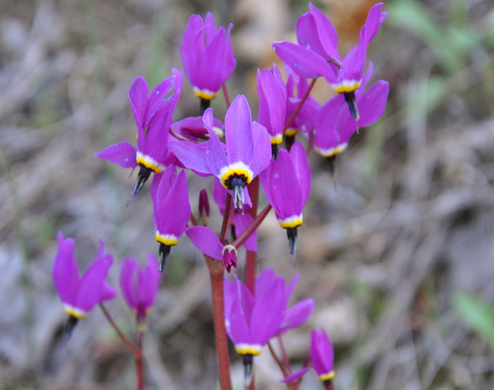 Dodecatheon hendersonii (Broad Leaved Shooting Star)