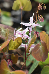 Epimedium 'Hagoromo' (Bishop's Hat)