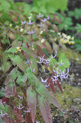 Epimedium fargesii (Fairy Wings)