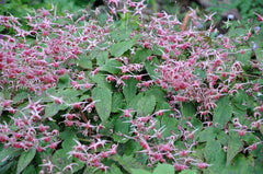 Epimedium 'Pink Champagne' (Fairy Wings)