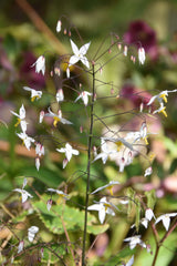 Epimedium stellulatum 'Wudang star' (Fairy Wings)