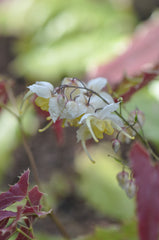 Epimedium wushanense Spiny Leaf Form (Wushan Fairy Wings)