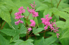 Filipendula purpurea (Japanese Purple Meadowsweet)